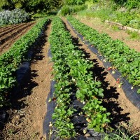 Mercado del Agricultor y fresas