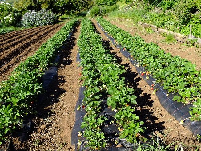 Mercado del Agricultor y fresa