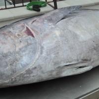 Patudo canario 180 kg