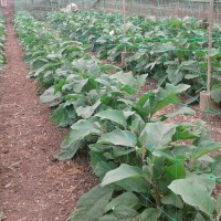 Pimientas y pimientos canarios para el Mercado de Tegueste