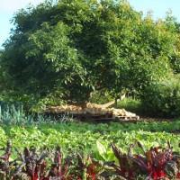 Agricultura ecológica en Mercadillo de Tegueste